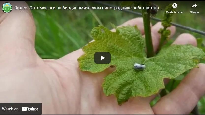 Видео: Энтомофаги на биодинамическом винограднике работают против вредителей