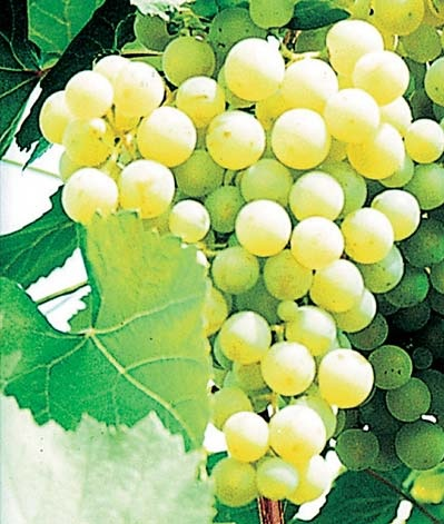 Виноград, сорт Краса Севера. Фото: БелСад